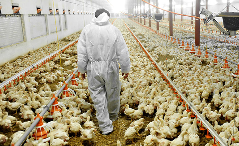 Rosehill Poultry | Services | Auditing