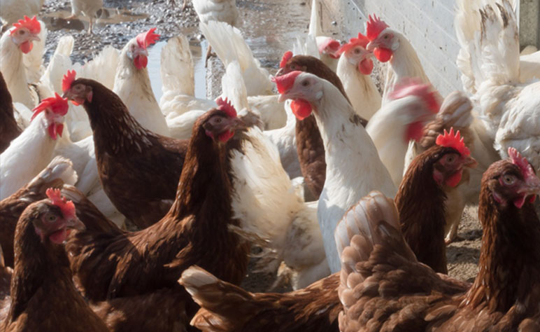 Rosehill Poultry | Services | Vaccination Programme Advice