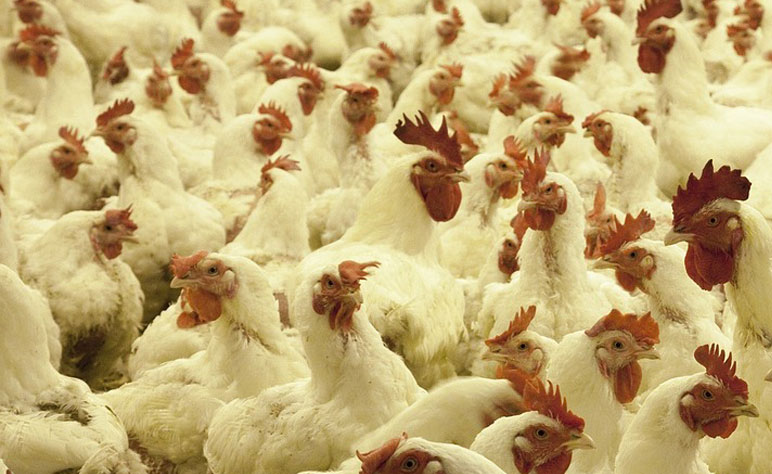 Rosehill Poultry | Services | Mass Live Vaccine